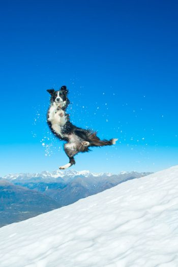 Border Collie in the snow having a good time!